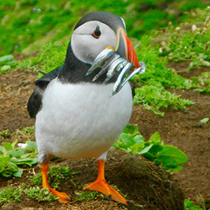 Atlantic Puffins Essence