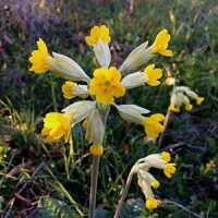 Cowslip Essence