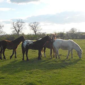 Stallion Herd Essence